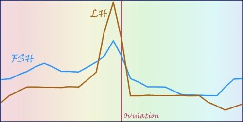 line graph showing follicle stimulating hormone and luteinizing hormone peak just before ovulation