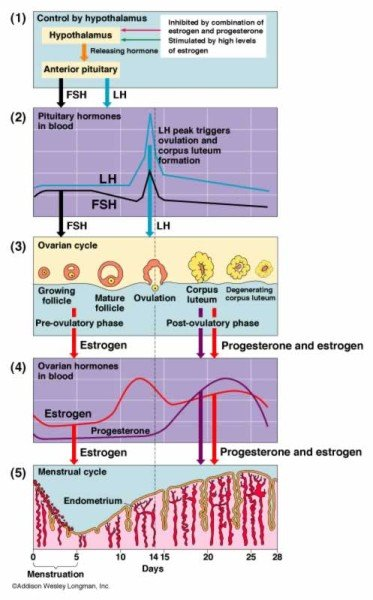 Getting Pregnant Menstrual Cycle 71